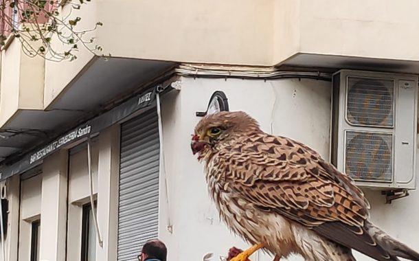 Cernícalo en el Barrio de Malilla | Naturaleza Viva