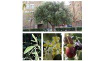 Árboles de Malilla | OLIVO