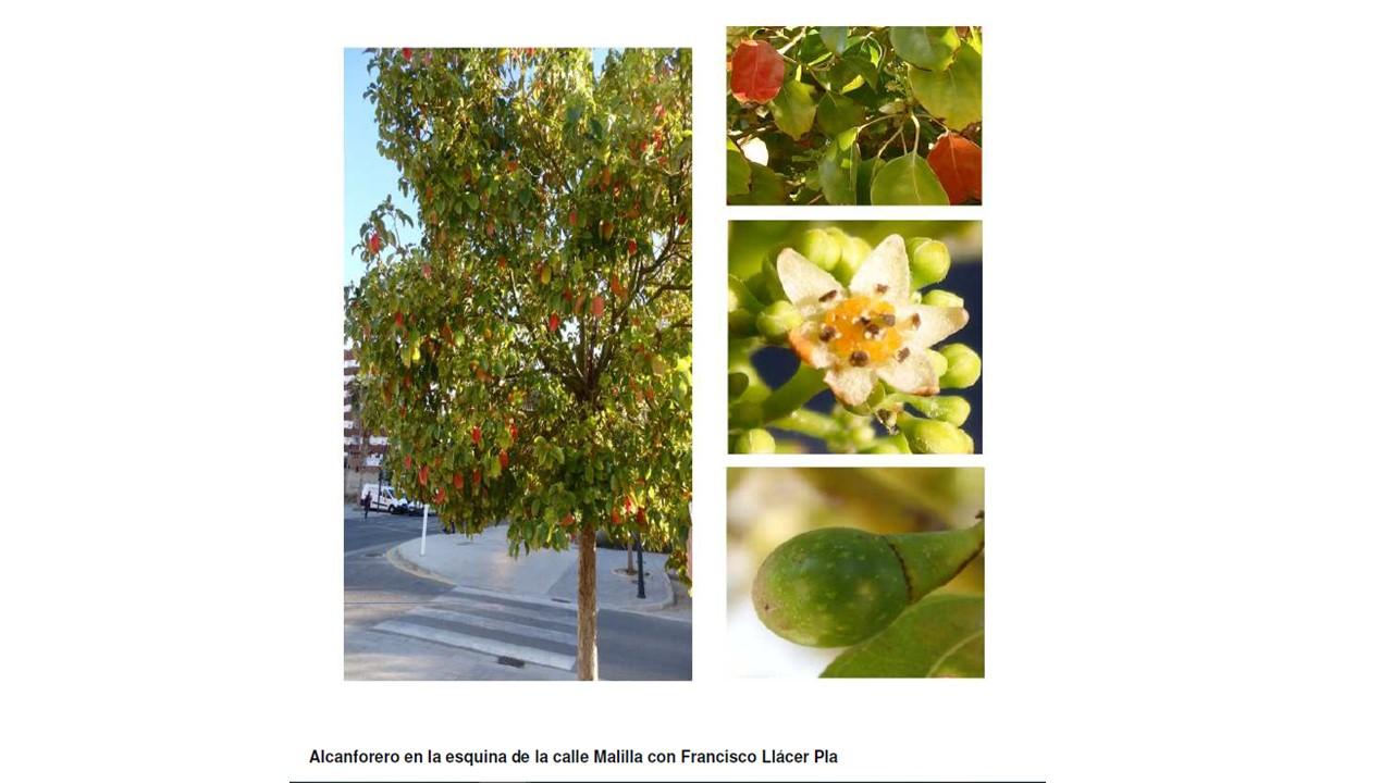 Árboles de Malilla | ALCANFORERO