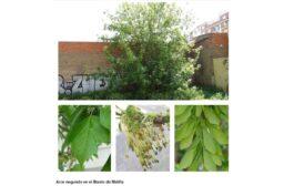 Árboles de Malilla | ÁRCE NEGUNDO