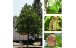 Árboles de Malilla | MORERA BLANCA