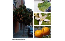 Árboles de Malilla | NARANJO AMARGO